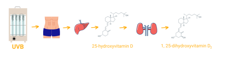The principle of getting vitamin D into the body using a UVB bulb