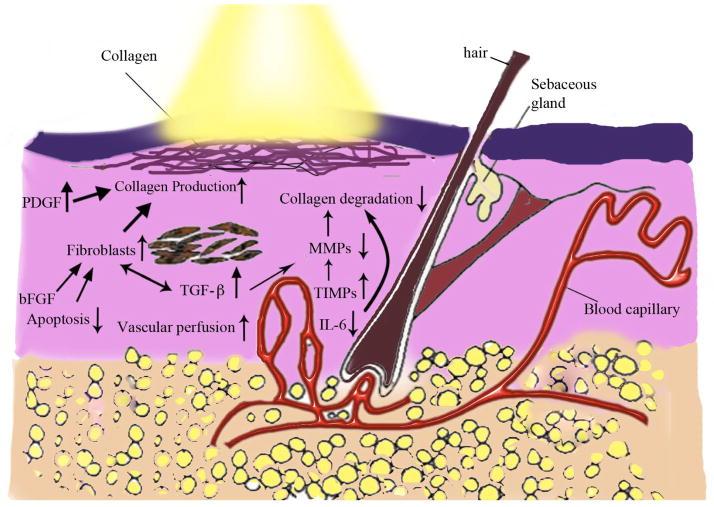 Mechanism of action of LLLT on skin rejuvenation